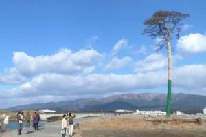 Miracle Lone Pine Tree (Rikuzentakata-shi)