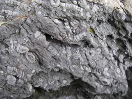 ペルム紀のウミユリ化石