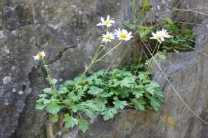 楚楚綻放的岩菊
