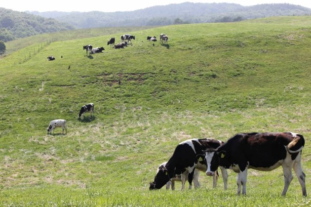 豊かな大地で育つ牛